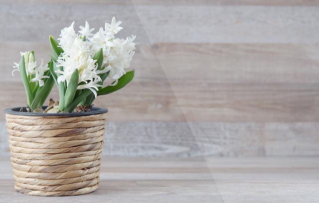kvetoucí hyacint v květináči